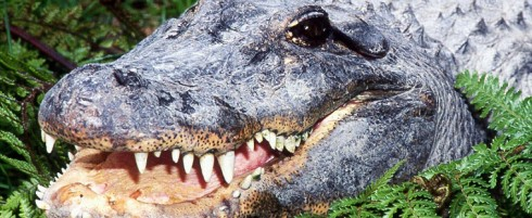 Gator showing teeth