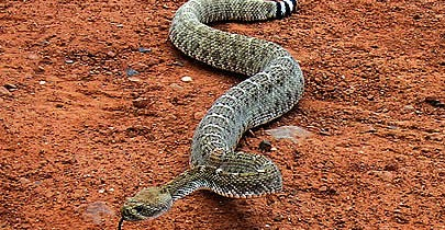 rattlesnake_418w