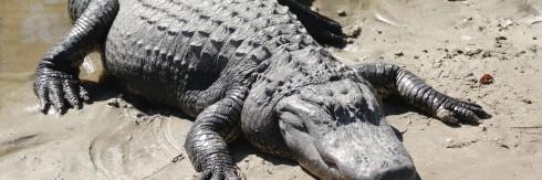 Two_american_alligators